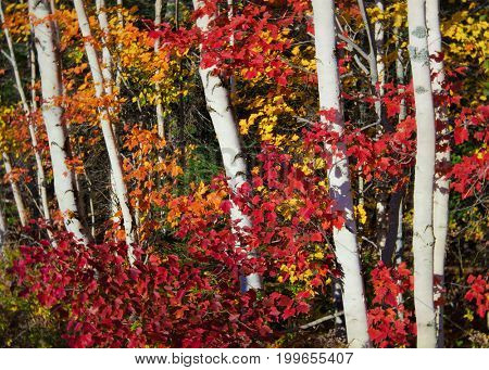 Birch and red maple in a deciduous forest.