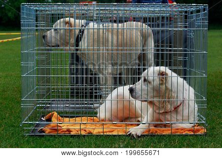 Two Central asian shepherd dogs sit in a cage
