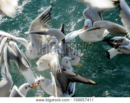 Birds fighting for food above the sea