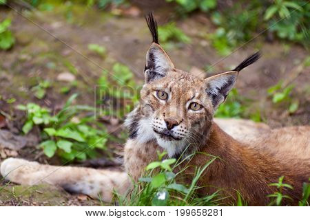 Beautiful wild lynx lies on the ground