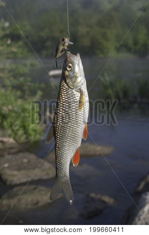 Chub Fish On Hook On The River Background