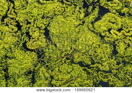 Close-up green algae background. Green algae from Baltic sea