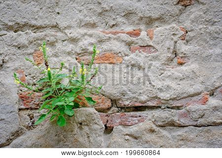little plant sprouting on the red brick old wall.