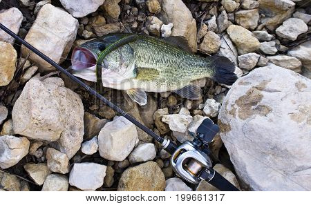 Bass Fish With Worm In Jaw On The Stones
