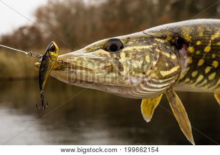 Pike Fish Trophy With Fishing Lure In Jaw