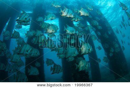 Schooling Atlantic Spadefish
