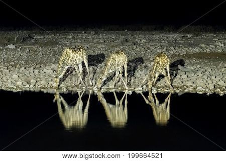 Three Namibian giraffes giraffa camelopardalis angolensis at an artificially lit waterhole in Northern Namibia after sunset. Its reflection is visible on the water