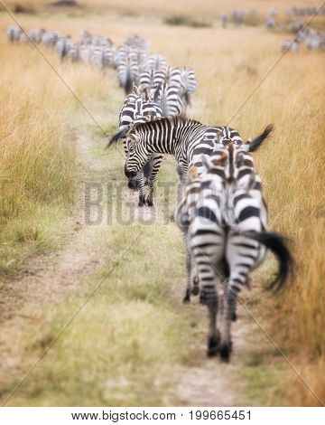 A herd of zebra follow a well worn path through the Masai Mara during the great migration in Kenya. Selective focus on the one animal who has put his head out of line.