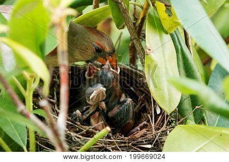 Mother Cardinal bird is feeding her five day old chicks in the nest.