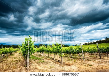 Beautiful vineyard landscape, overcast cloudy sky over fresh green vines, amazing view of big grapes valley in South Africa