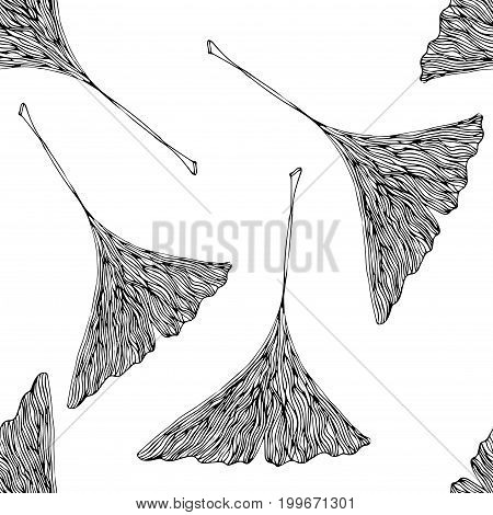 Vector ginko leaves on white field. Uncolored botany illustration.