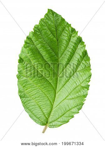 hazelnut's leaf isolated on white background with clipping path