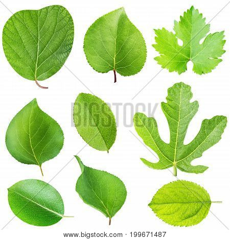 set of fruit leafs isolated on white background with clipping path