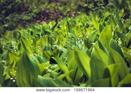Fragrant Lily of the valley flower bells growing in the woods