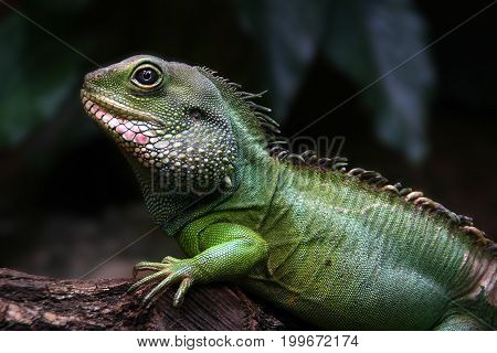 Portrait of a baby iguana on the forest