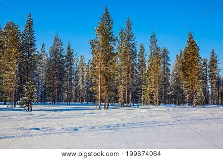The concept of active and extreme tourism. Coniferous forest in Lapland. Winter fairy tale in a sunny frosty day