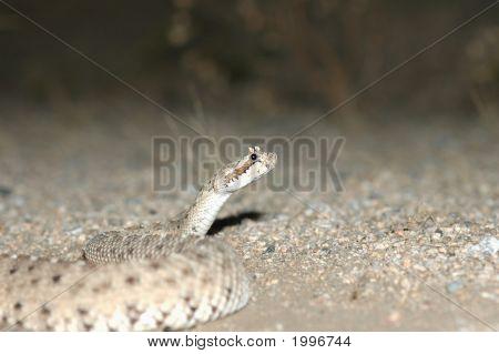 Crotalus Cerastes Laterorepens