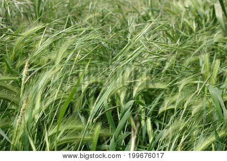 Still unripened ears of wheat on the field