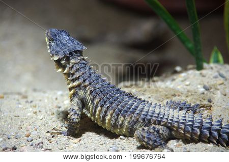 A lizard standing still on the sand