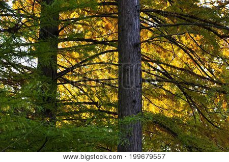 Golden morning light on a branches of a pine tree at Topcider park, Belgrade, Serbia