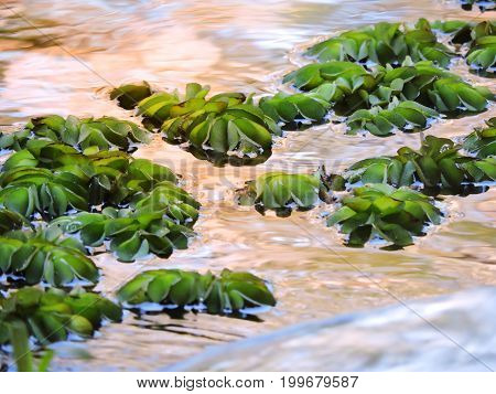 Aquatic plant floating in the water at afternoon.
