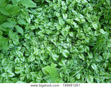 Green texture background of ground covering leaves of yellow archangel Lamium Galeobdolon