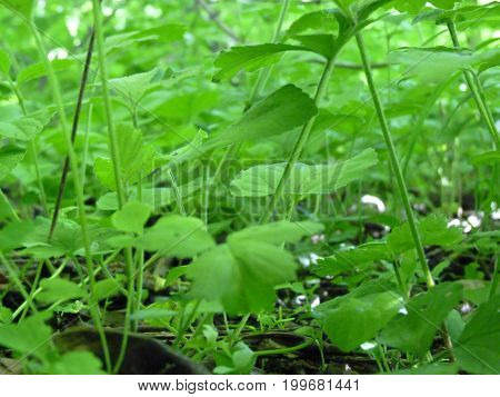 Low Close Up Macro Detail Of Ground Covering Green Plants Background