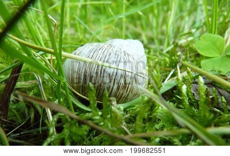 Low Close Up Macro Detail Of Roman Snail Shell In Moss And Grass