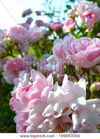 Macro Close Up Of Blooming Pink Rose Flowers In Flower Garden