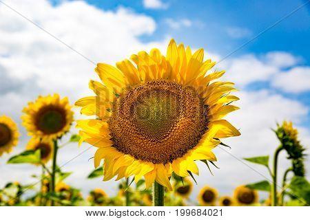 nice sunflower on rural farm field in sunny day
