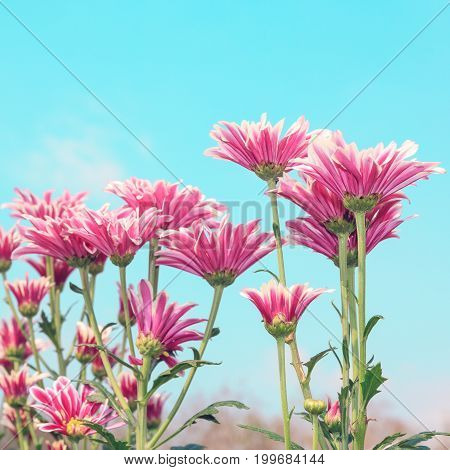 Pink chrysanthemum blossom background - Vintage color tone style