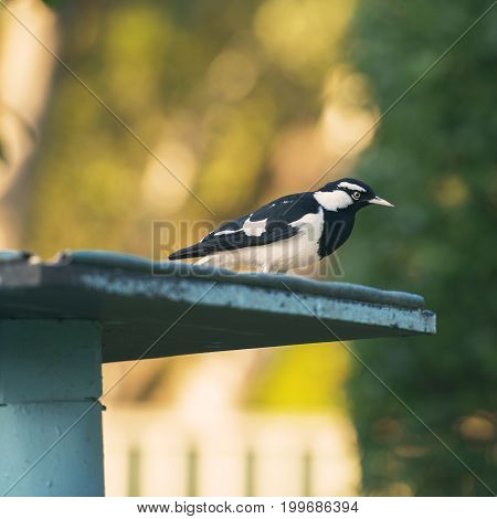 Small Magpie Lark Outside In The Afternoon