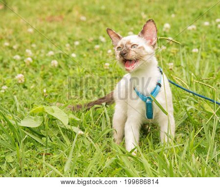 Beautiful tortie point Siamese kitten in a blue harness against green summer background, meowing