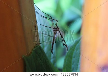 male mosquito sitting on a porch rail