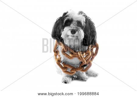 black and white dog. A black and white Havanese dog wears gold chains. isolated on white with room for text.