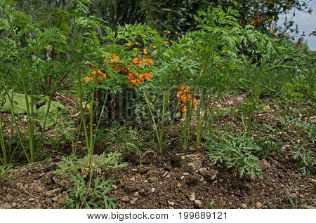 Carrot growing in backyard garden. It is a root vegetable, usually orange in color, though purple, black, red, white, and yellow cultivars exist. Carrots are a form of the wild carrot, Daucus carota.