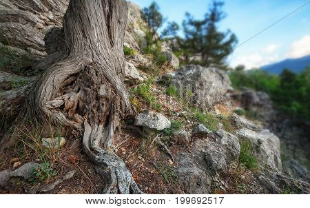 The roots of the tree trunk on the mountain among the rocks. Focus on the roots