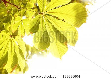 Leaves of chestnut isolated on the white background. Copy-space composition. Shallow DOF!