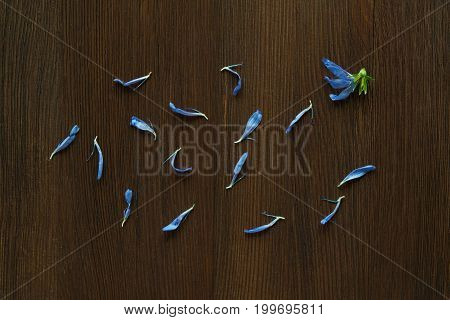 Blue petals of chicory on brown wooden background