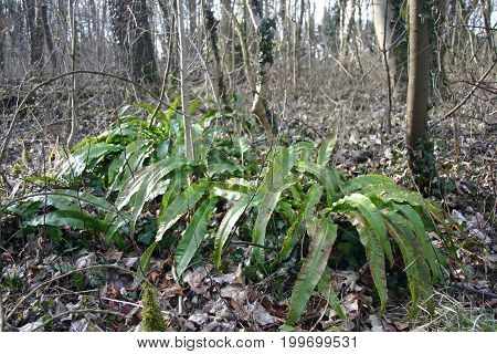 Hart's Tongue Fern In Woodland