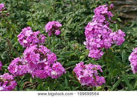 Pink Phlox Flowers