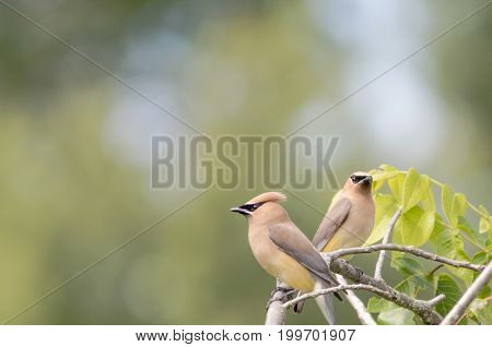Cedar Waxwing  (Bombycilla Cedrorum) adult with fledgling