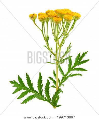 tansy isolated on a white background. Medical herb.
