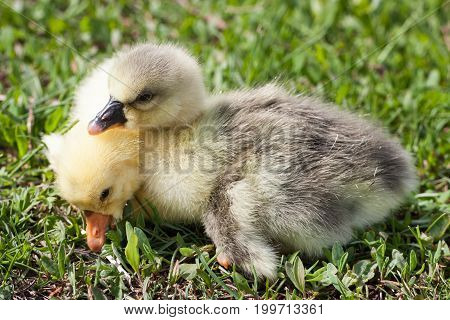 Two little domestic gosling in green grass.