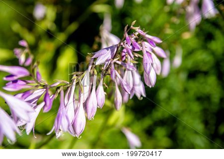 bush of flowers Hosta in a rustic garden