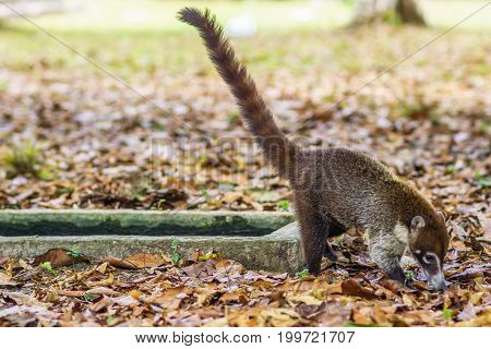 View on coati in the rain forest of national park Tikal in Guatemala poster