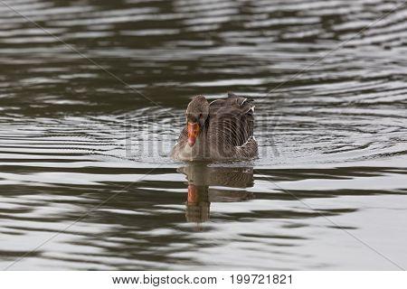 One Gray Goose  (anser Anser) Swimming In Glittering Water