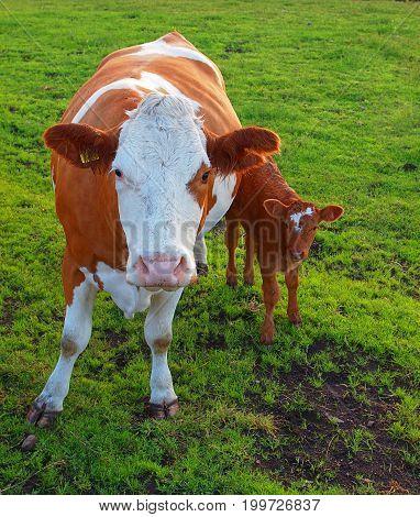 Cow and calf. Forfar, Scotland - August 01, 2017 A Scottish cow with a calf in a pasture in Forfar, Scotland.