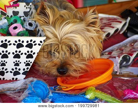 Cute Yorkshire Terrier dog lying between colorful toys and looking at camera