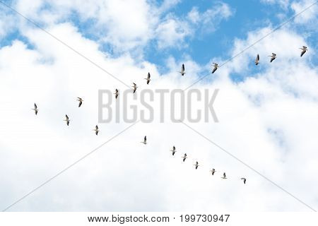 Flock of White Pelicans flying. Formation of pelicans flying for food